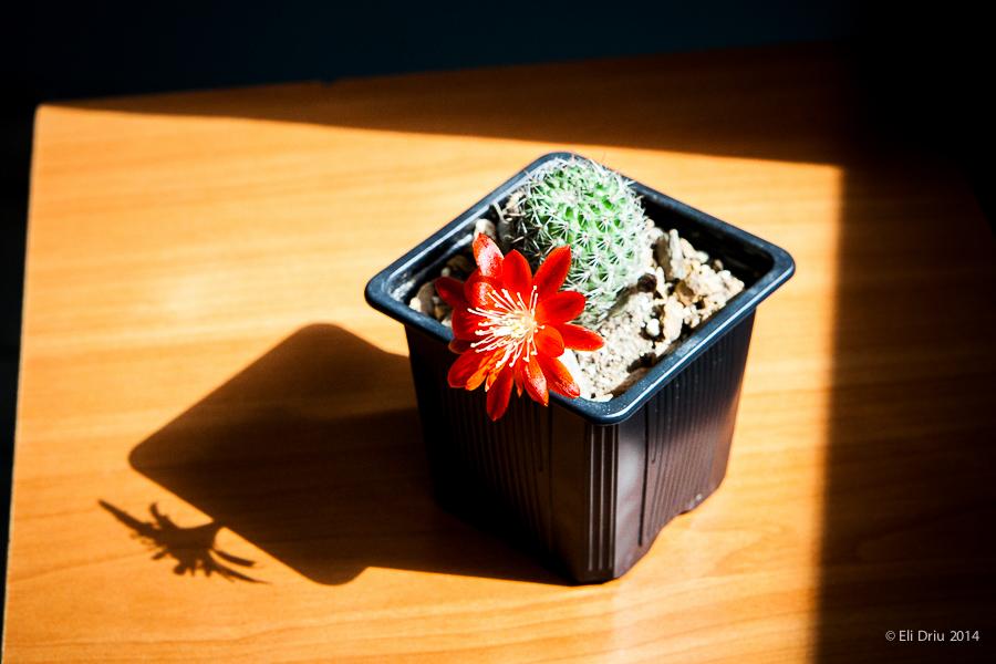 cactus_floare_rosie